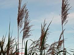 Gräser streben dem Himmel zu! (magritknapp) Tags: gräser britzergarten himmel grasses britzergarden sky graminées « britz jardin » ciel hierbas britzjardín el cielo gramíneas céu erbe cielobritzgiardino berlin