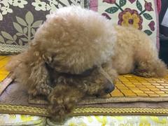 吃飽、喝足、睡覺覺的紅貴賓 (迷惘的人生) Tags: 臺北市 台北市 台灣 tw 紅貴賓 狗 dog