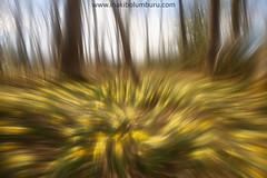 UDABERRIA (Obikani) Tags: izki bosque basoa narciso flou abstracción color amarillo álava araba euskadi paisaje naturaleza