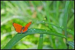 DSC_9112-06-08-1 - Lycaena dispar (r.zap) Tags: farfalle lycaenadispar rzap parcodelticino