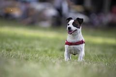 傑克羅素㹴 Jack Russell Terrier (Sam's Photography Life) Tags: 狗 犬 小狗 寵物 生態 自然 動物 毛小孩 大白兔 大白2 大白 市民廣場 台中 誠品 綠園道 誠品綠園道 草地 陽光 公園 遛狗 canon 1dx 100400 dog pet aninal park sun sunful 傑克羅素㹴 傑克羅素 jack russell terrier