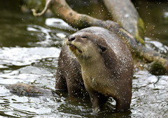 Shaking out the water. (pstone646) Tags: otter nature animal fauna mammal closeup water wildlife