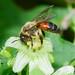Andrena florea 170621 081.jpg