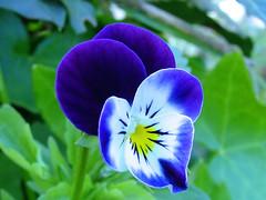 Pensée sauvage 2008-05-03 (Ezzo33) Tags: france bordeaux gironde ezzo33 parc jardin fleur flower pensée sauvage vert
