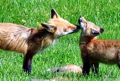 DSC_0774 (rachidH) Tags: fox renard vulpes foxcub renardeau redfox renardroux vulpesvulpes backyard frontyard wildlife sparta newjersey nj rachidh nature
