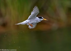 Tern (Modestus Lorence) Tags: isii f28 300mm markii 1dx canon singapore flight terns outdoor animals birds