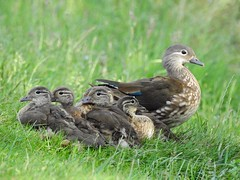 Mandarin duck with ducklings (PhotoLoonie) Tags: mandarinduck duck ducklings wildlife nature britishwildlife
