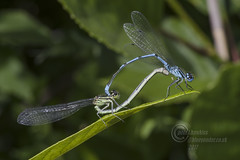 _IMG7833 Azure  Damselflies in copulation wheel (In Explore) (Pete.L .Hawkins Photography) Tags: damselflies copulation wheel petehawkins petelhawkinsphotography petelhawkins petehawkinsphotography pentax 100mm macro pentaxpictures fantasticnature fabulousnature incrediblenature naturephoto wildlifephoto wildlifephotographer naturesfinest unusualcreature naturewatcher insect invertebrate bug 6legs compound eyes creepy crawly uglybug bugeyes fly wings eye veins flyingbug flying
