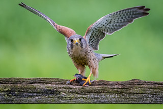 Kestrel - 'are you going to watch me eat?'