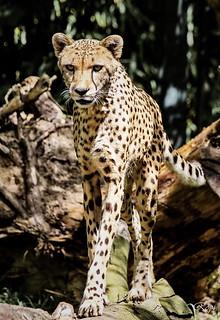 Gepard / Acinonyx jubatus