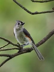 Tufted Titmouse (Tex-Mex Birds) Tags: texasbirds tuftedtitmouse huntwick huntwickbirds houston houstonnature jamesbatt