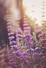 Monk's Pepper Sunrise ((Sarah Robinson)) Tags: nature flowers bush monks pepper purple green leaves plant outdoors macro nikon d750 105mm bloom spears