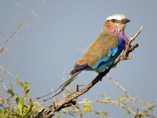 Gewone Troupant / Lilac-breasted Roller