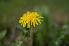 Nature (steffos1986) Tags: flower wild bokeh nature dandelion macro flowers green autumn yellow meyer oreston vintage nikon d5500