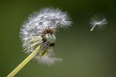 blown away... (Sabinche) Tags: dandelion flower seed spring