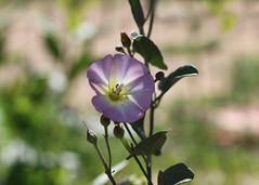 141/365 Morning Glory (Helen Orozco) Tags: 2017365 bindweed morningglory convolvulaceae invasiveweed weed canonrebelsl1 bokeh lightplay
