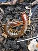 Cormocephalus sp. (Jackson Nugent) Tags: cormocephalus centipede scolopendridae arthropod myriapod bug animal