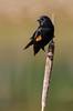 Red-Winged Black Bird-7857 (chrisclark39) Tags: redwingedblackbird turtlepond spring