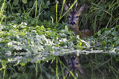Young Roe Buck (PINNACLE PHOTO) Tags: roe deer buck roebuck male young inwater river riverwey capreoluscapreolus antlers reflection canon1dmkiv 300mm 14x 420mm morning light wild wildlife animal swimming surrey early am walk