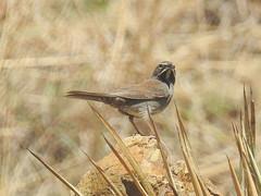Five-striped Sparrow (David Bygott) Tags: usa arizona ruby bird