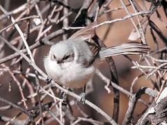 Bush-tit (David Bygott) Tags: usa arizona ruby bird