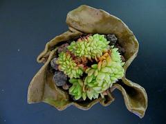 IMG_9713 (asac_cactus) Tags: cactus suculentas suculents asac barcelona graptopetalum bellum echeveria agavoides cristata