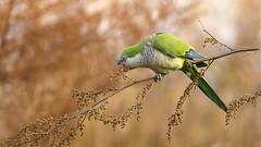 Cotorra - Myiopsitta monachus - Monk Parakeet (Jorge Schlemmer) Tags: cotorra myiopsittamonachus monkparakeet josédelaquintana córdoba argentina birdwatcher