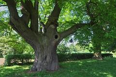 Esskastanie (nordelch61) Tags: wetterau hessen kastanie esskastanie kastanienbaum baum stamm baumstamm riesig uralt rinde tree forest