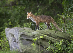 Pride Rock...{explored} (DTT67) Tags: redfox red fox lupine mammal animal fur forest nature wildlife nationalgeographic canon 1dxmkii 500mmii 14xtciii spring maryland