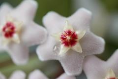 Hoya' s tear (ashora_63) Tags: hoyacarnosa macro flowersbokeh flowersmacro 7dwf tropicalflowers flora bright fleur colorful floralfantasy 100flowers2017 fantasticflower doublefantasy blossom awesomeblossoms