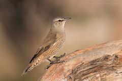 Brown Treecreeper (chrissteeles) Tags: browntreecreeper treecreeper bird birding freeling southaustralia sa