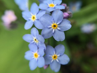 Forget-me-nots. One of my all-time favorite flowers.