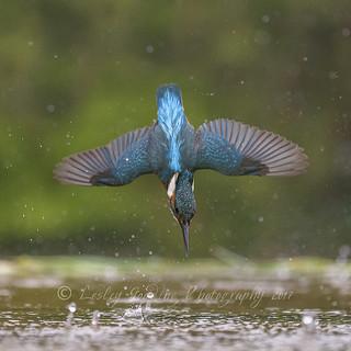 Kingfisher, wings spread