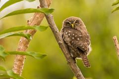 Chuncho (Matias Pavez Peillard) Tags: avesdechile aves chile chuncho zapallar birds birding birdwatching birdsofchile nature naturaleza glaucidium nanum