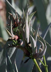 Agave americana, Forrestfield, Perth, WA, 21/05/17 (Russell Cumming) Tags: plant weed agave agaveamericana asparagaceae forrestfield perth westernaustralia