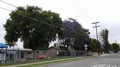 Jacaranda tree in St. Paul's Elementary School on Heim Ave. (Daralee's Web World photos) Tags: jacarandatree
