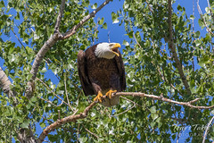 May 20, 2017 - Bald Eagle keeps watch at her nest on the Platte. (Tony's Takes)