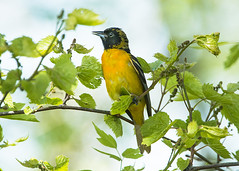 Northern Oriole_2017 (Thomas Muir) Tags: tommuir northernoriole female baltimoreoriole icterusgalbula mageemarsh ohio oakharbor lakeerie outdoor animal spring migration bird nikon 200400mm d800 songbird