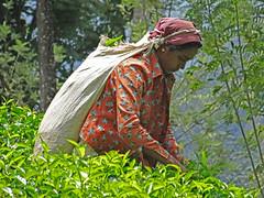 Nuwara Eliya, Sri Lanka - February 2017 (Keith.William.Rapley) Tags: srilanka ceylon 2017 rapley keithwilliamrapley nuwaraeliya teapicker teaplants teaplantation