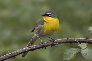 Yellow-breasted Chat | Paruline polyglotte