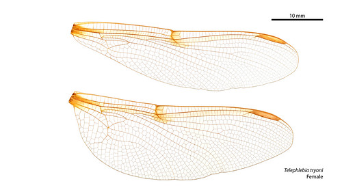 Telephlebia tryoni female wings