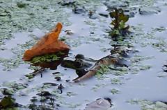 Pelophylax esculentus (Ostravak83) Tags: ostrava 2015 léto summer nikoncoolpix žába frog skokanzelený ediblefrog pelophylaxesculentus pond rybník hunter lovec venkov countryside chko npr morava frogs amphibians obojživelníci amphibia animal lake water sanctuary nature příroda