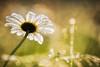 Sun and rain (Karsten Höhne) Tags: margeriten wiese regentropfen wasser