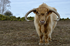 IN THE PRESENCE OF A GENTLE GIANT  -  (Selected by GETTY IMAGES) (DESPITE STRAIGHT LINES) Tags: heilancoo highlandcow highlandcows kyloe cow cattle heilancoosinthenewforest highlandcattleinbrockenhurst horns day cloud landscape nikon d7000 nikond7000 nikon18105mm nikkor18105mm boghaidhealach brindled fur grass field pasture farm farming hoof hooves dof photo photography frame raw image animal thenewforest newforest newforesthampshire thenewforestinhampshire brockenhurst hampshire england countryside rural getty gettyimages gettyimagesesp despitestraightlinesatgettyimages paulwilliams paulwilliamsatgettyimages ilobsterit