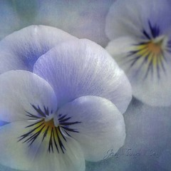 Viola Symphony (Jean Turner Cain) Tags: flower flora floral flowers viola jeanturnercain texture textured textures art s