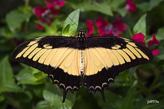 Androgeus Swallowtail (jt893x) Tags: 105mm afsvrmicronikkor105mmf28gifed androgeusswallowtail d810 insect jt893x macro nikon papilioandrogeus queenpage swallowtail specanimal