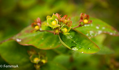 Droplets on greenery (femmaryann) Tags: nature natural droplet green greenery bush berries yellow orange red rain water wet