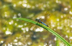 Blue Dasher (Black Hound) Tags: sony a500 minolta odonata dragonfly bluedasher hiberniapark