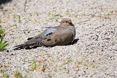 Mourning Dove (Zenaida macroura) Resting on Pathway, Dundas, Canada (Joseph Hollick) Tags: bird mourningdove dundas zenaidamacroura