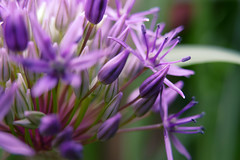 waiting (nelesch14) Tags: allium summer purple flower blossom bud macro nature spring sunshine